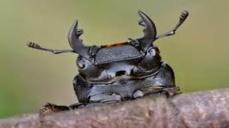 Śladami chrząszcza pachnicy