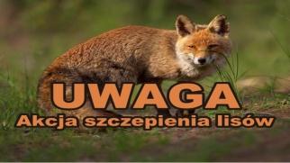 Termin wyłożenia szczepionki dla lisów wolno żyjących